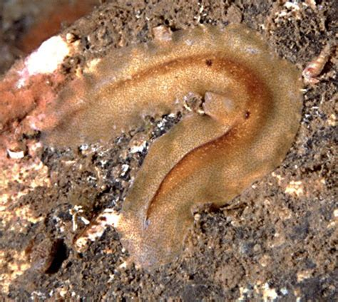 flatworm in flatworm phylum