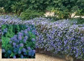 evergreen shrub blue flowers 24x ceanothus california lilac blue flowers evergreen