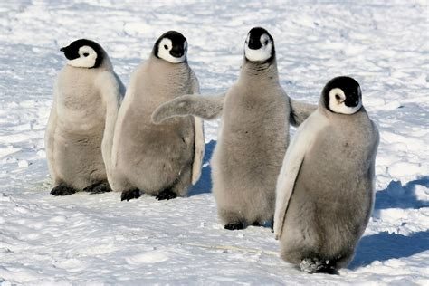8 Facts On Penguins by Baby Emperor Penguins Facts