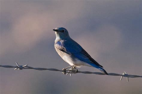 san diego county bird 206 mountain bluebird greg in