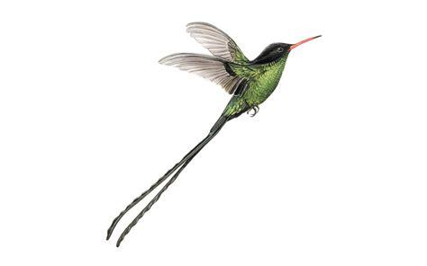 Birds Illustration ferrer beals biomedia and scientific illustrator