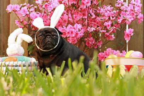 easter pug pictures easter pug in the grass photo and wallpaper beautiful easter pug in the grass pictures