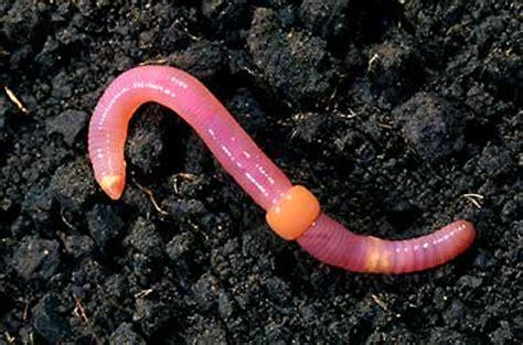 earthworm dissection clitellum clitellum