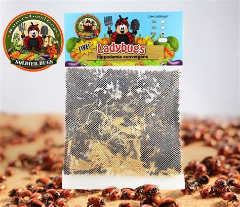 where to find ladybugs in your backyard 100 where to find ladybugs in your backyard ladybugs in your house that u0027s