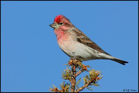 cassins finch carpodacus cassinii north american birds