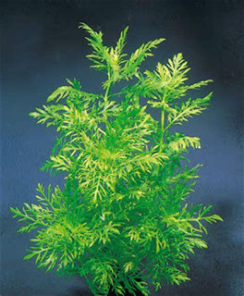 tanaman air aquascape review hygrophila diformis blog