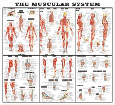 Comic Wall Mural the muscular system