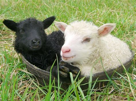 Baby Black And White Sheep
