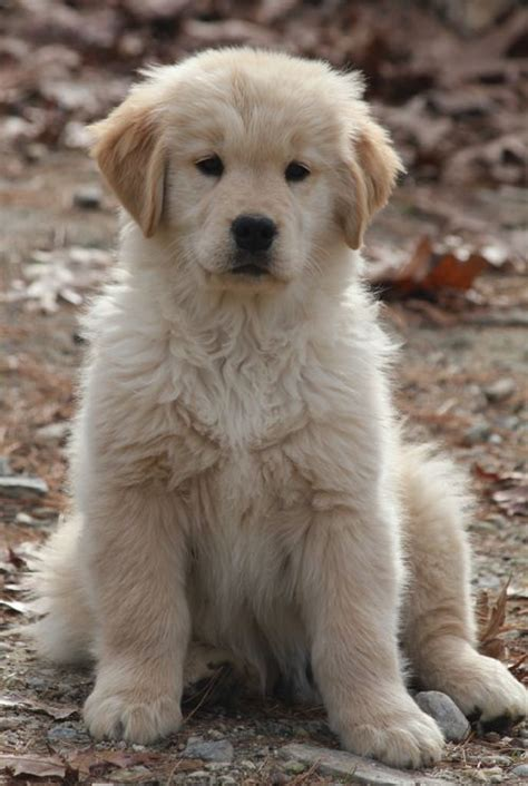 golden retriever puppies boston ma 17 best images about goldens