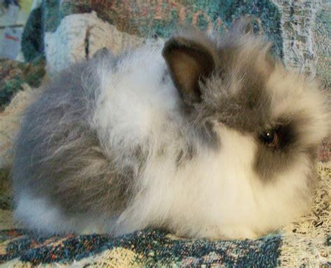 rabbit colors broken blue lionhead rabbit broken is the color pattern