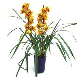 Aprilia Fiori cymbidium vannoli floral design fiori a aprilia fiori a fiori a pomezia