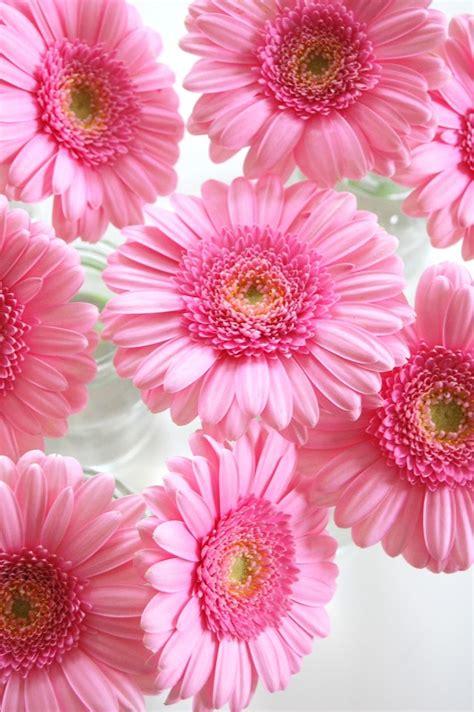 imagenes flores gerberas m 225 s de 25 ideas incre 237 bles sobre gerberas fondos en