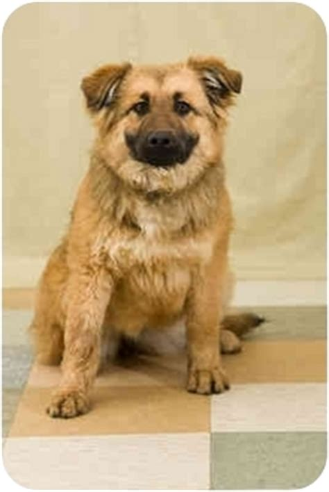 golden retriever adoption oregon mercedes adopted puppy portland or golden retriever belgian shepherd mix
