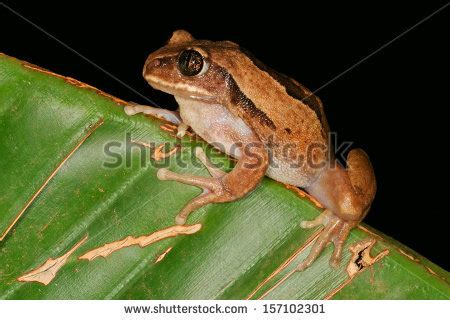 African Tree Frog Stock Photos, Images, & Pictures ...