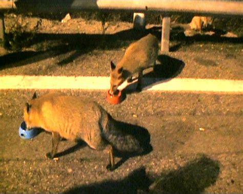 passo di tenda ecco la vera storia delle volpi al colle di tenda tutto