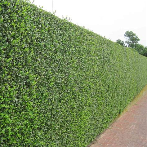 privet hedge plants ligustrum ovalifolium hedging