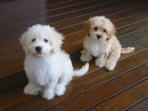 breeders in tibetan terrier breeders in qld expats
