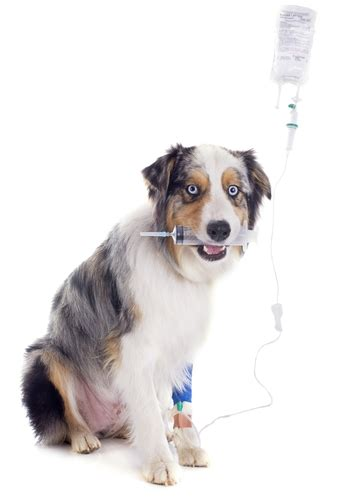 acute kidney failure in dogs kidney failure in dogs the ultimate science based guide