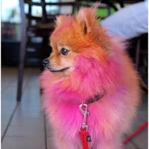pink pomeranian pink pomeranian pomeranian