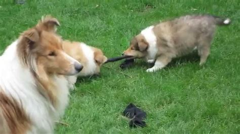 Smooth Collie Shedding by Peggy S Collie Puppies Tug