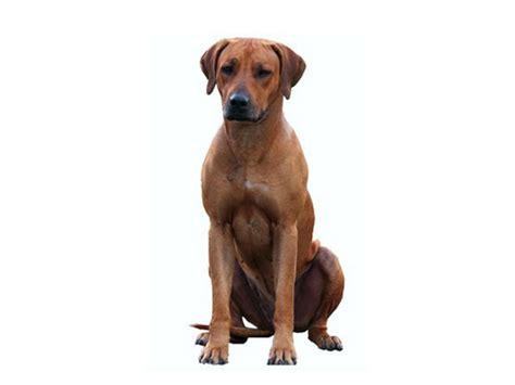 Aufkleber Hund by Hunderassen Auto Aufkleber Rhodesian Ridgeback Tierisch