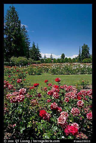 picturephoto red roses municipal rose garden san jose