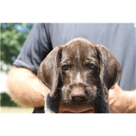 drahthaar puppies for sale drahthaar puppies ad 65716