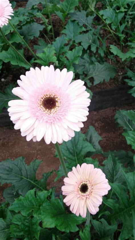 jual bibit bunga gerbera pcs  lapak dwi eka ramadhan