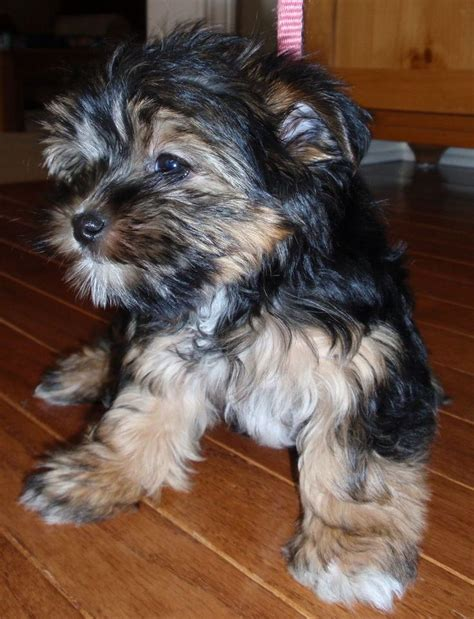 yorkie rescue in michigan 72 best puppy images on animals puppies and baby animals