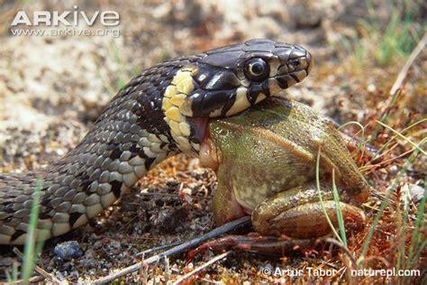 rana alimentazione snakes snakes