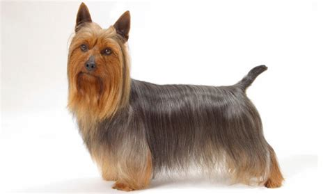 yorkie traits yorkie terrier characteristics dogs in our photo