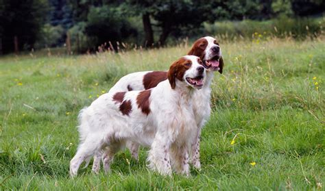 red setter dog info irish red and white setter breed information