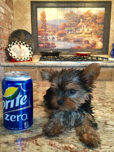 yorkies for sale in colorado springs t cup yorkie colorado springs for sale colorado springs pets dogs