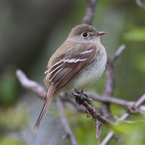 file empidonax minimus 001 jpg wikimedia commons