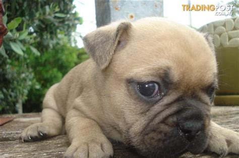 pugs for sale adelaide sa bulldog x pug frug for sale in adelaide sa bulldog x pug frug