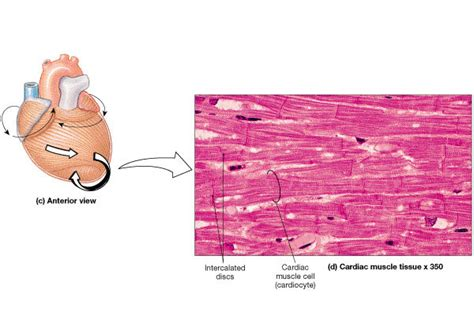 cardiac cell diagram bio 100 anatomy