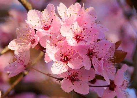 Imagenes De Rosas Japonesas | flowers quot quot 10 flores japonesas quot