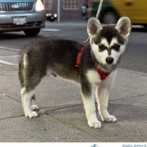 miniature husky puppies 21 best images about puppy on salford pocket beagle puppies and animals