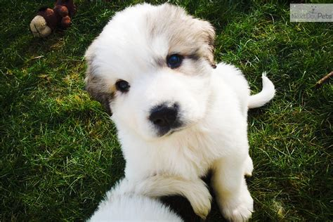 pyrenees puppies for sale puppies for adoption free great pyrenees puppies for sale puppy breeds