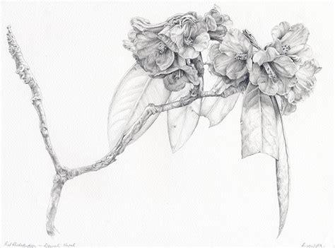 libro botanical drawing using graphite botanical drawing rhododendron field drawings 4 graphite drawings botanical
