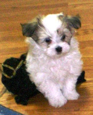 yorki maltese mix gallery yorkie maltese mix puppies white