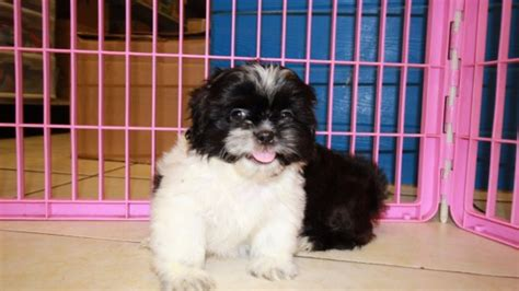 local shih tzu puppies for sale eye catching black shih tzu puppies for sale in at puppies for sale local