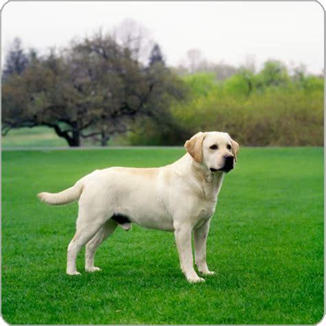chagne lab puppies labrador retriever breeds purina