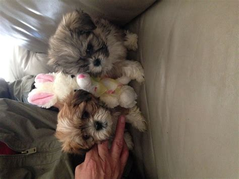 maltese shih tzu puppies melbourne maltese x shih tzu puppies for sale breeds picture