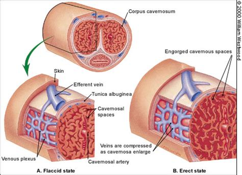 cross section of penis need an erectile dysfunction cure never suffer from