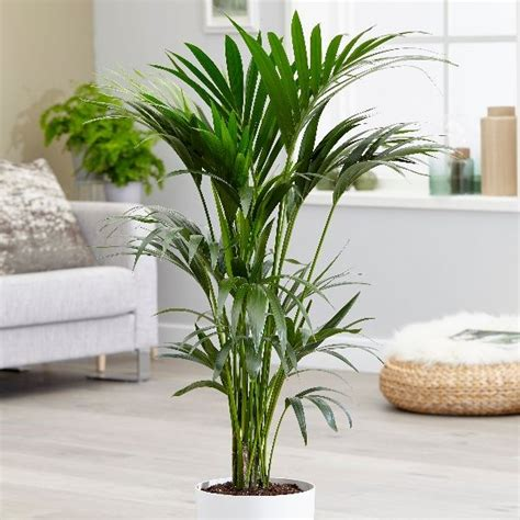 buy kentia palm howea forsteriana  delivery  crocus