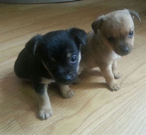 min pin chihuahua mix puppies for sale pictures of chihuahua minpin mix puppies breeds picture