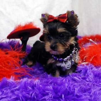 teacup yorkie for sale in chicago best 25 terrier for sale ideas only on teacup terrier
