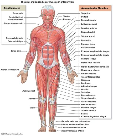 Superficial Muscles Anterior View Worksheet Answers Webnotex