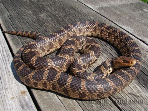 Helping A Snake Shed by Missouri Illinois Snake Conflicts Advice Rescue Rehab